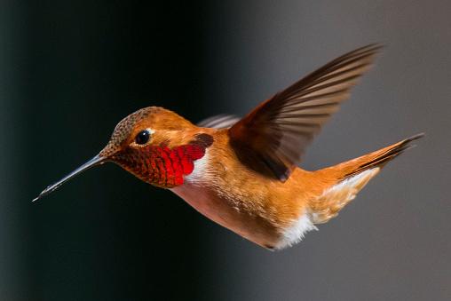 Beak「Rufous hummingbird close-up」:スマホ壁紙(5)