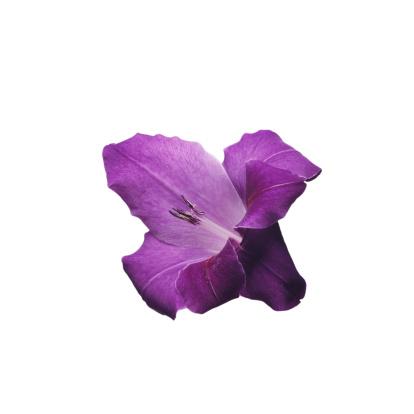 Flower Stigma「Gladiolus」:スマホ壁紙(15)