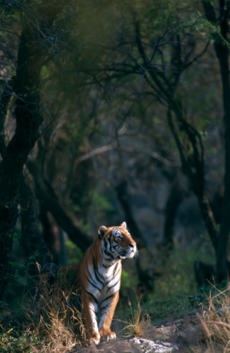 虎「Distant view of a Tiger (Panthera tigris)  walking through trees, Pretoria Zoo, Gauteng Province, South Africa」:スマホ壁紙(14)
