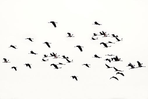 Flock Of Birds「Eurasian crane in flight」:スマホ壁紙(0)