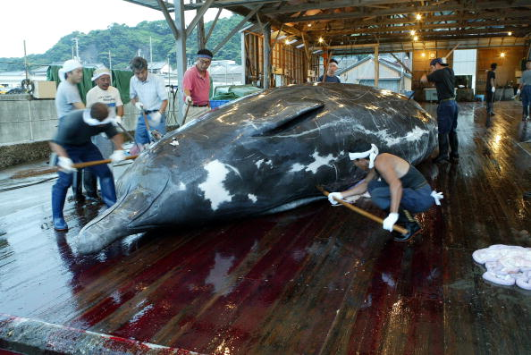 Japan「Whale Hunting In Japan Continues Amidst Criticism」:写真・画像(12)[壁紙.com]