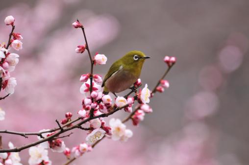 梅の花「Japanese White-eye on Plum Blossom Tree, Chuo Ward, Tokyo Prefecture, Honshu, Japan」:スマホ壁紙(7)