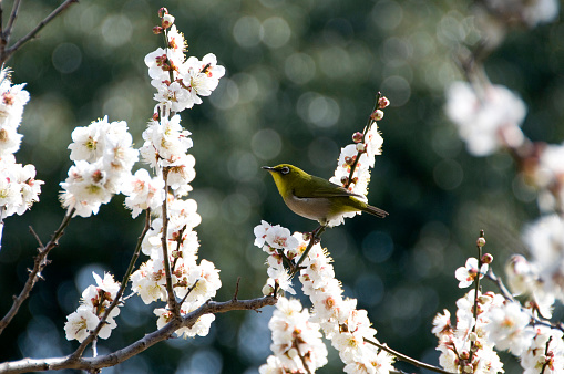 梅の花「Japanese white eye on plum tree branch」:スマホ壁紙(14)
