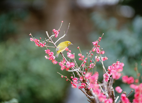 梅の花「Japanese White-eye on Plum Tree. Fukuoka Prefecture, Japan」:スマホ壁紙(14)