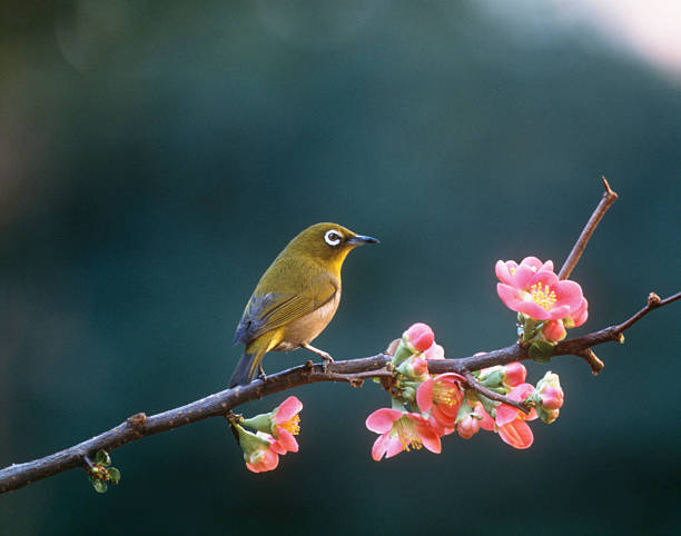 Japanese White-Eye perched on blossoming Japanese quince branch, Yokohama, Kanagawa Prefecture, Japan:スマホ壁紙(壁紙.com)