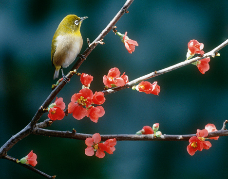カリン「Japanese white-eye perched on blossoming Japanese quince branch, Yokohama, Kanagawa Prefecture, Japan」:スマホ壁紙(19)