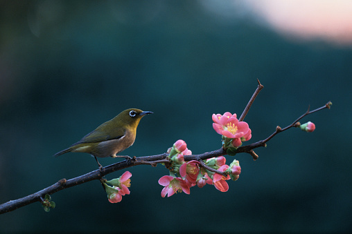 カリン「Japanese white-eye perched on blossoming Japanese quince branch,」:スマホ壁紙(18)