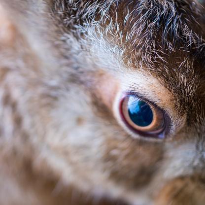 うさぎ「Eye detail, European hare - Liebre europea (Lepus europaeus), also known as the brown hare, Navarra, Spain, Europe」:スマホ壁紙(14)