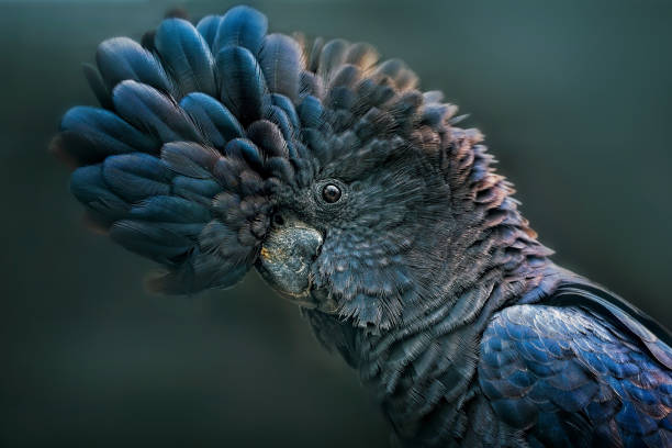 Red Tailed Black Cockatoo (Calyptorhynchus banksii):スマホ壁紙(壁紙.com)