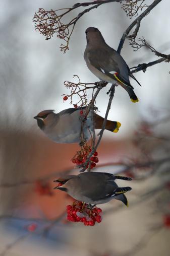 Bohemian Waxwing「Sweden, three waxwings (Bombycilla garrulus) perched on branch」:スマホ壁紙(5)