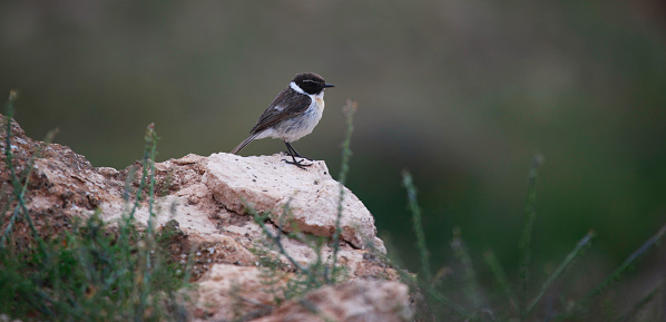 一匹「Canary Islands stonechat」:スマホ壁紙(18)