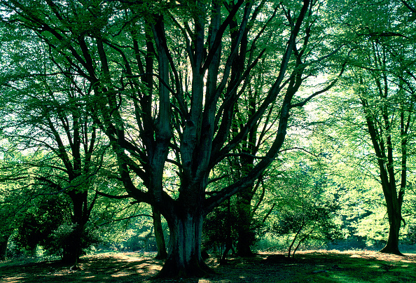 Green Color「Beech Trees, New Forest, Hampshire, England」:写真・画像(10)[壁紙.com]