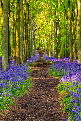 Bluebell Wood「Beech Trees And Bluebells」:スマホ壁紙(9)