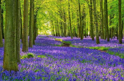 Bluebell Wood「Beech Trees And Bluebells」:スマホ壁紙(11)