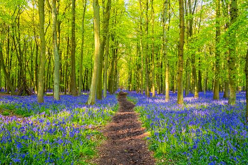 Bluebell Wood「Beech Trees And Bluebells」:スマホ壁紙(18)