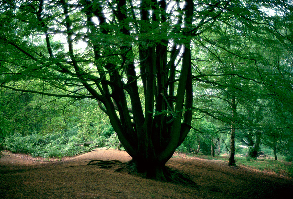 Scenics - Nature「Beech Trees, Hampstead Heath, London, England」:写真・画像(14)[壁紙.com]