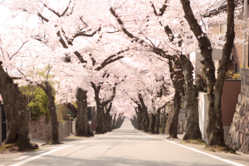 Cherry Tree「Treelined street, Hyogo Prefecture, Honshu, Japan」:スマホ壁紙(12)