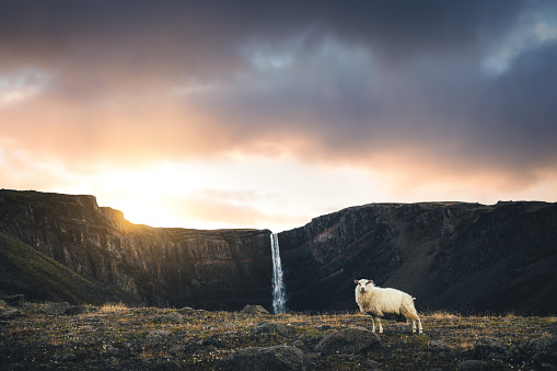 Sheep「Hengifoss Waterfall With Icelandic Sheep」:スマホ壁紙(12)