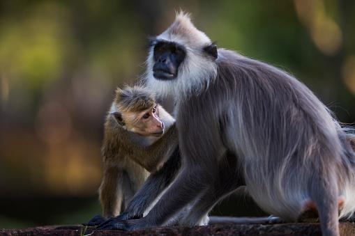 Grooming - Animal Behavior「Toque macaque grooming Tufted gray langur」:スマホ壁紙(0)