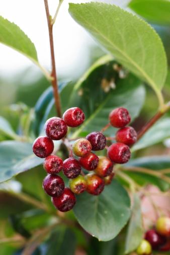 Rowanberry「Fruits from nature」:スマホ壁紙(12)