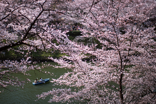 桜「People Enjoy Cherry Blossom In Tokyo」:写真・画像(8)[壁紙.com]