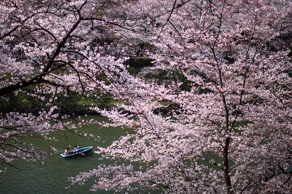 Tokyo - Japan「People Enjoy Cherry Blossom In Tokyo」:写真・画像(12)[壁紙.com]