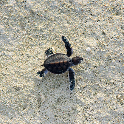 Green Turtle「Baby turtle, hatching, Heron Island, Australia」:スマホ壁紙(15)