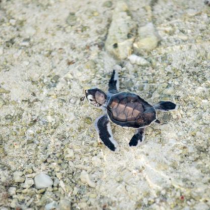 Green Turtle「Baby turtle, hatching, Heron Island, Australia」:スマホ壁紙(4)
