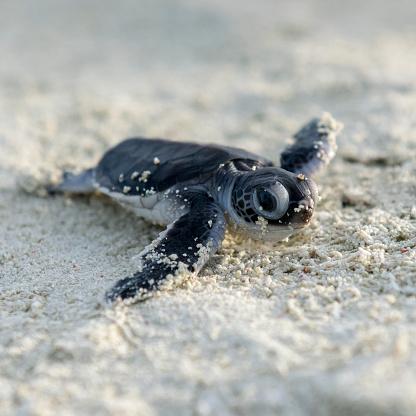 Green Turtle「Baby turtle, hatching, Heron Island, Australia」:スマホ壁紙(7)