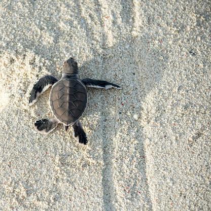 Green Turtle「Baby turtle, hatching, Heron Island, Australia」:スマホ壁紙(6)
