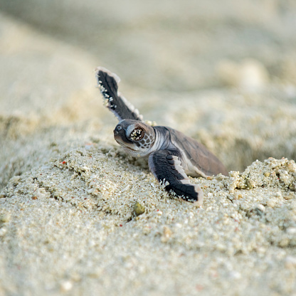 Green Turtle「Baby turtle, hatching, Heron Island, Australia」:スマホ壁紙(14)