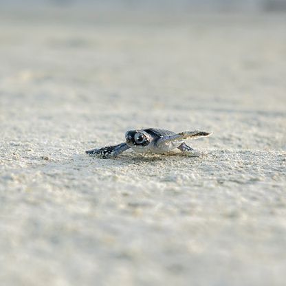 Green Turtle「Baby turtle, hatching, Heron Island, Australia」:スマホ壁紙(2)