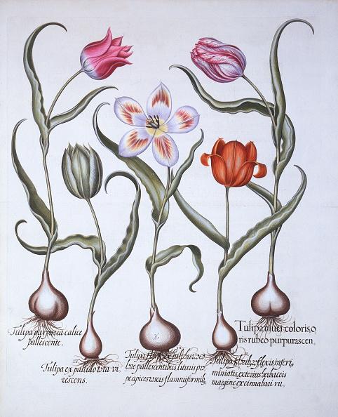 チューリップ「Varieties Of Tulip」:写真・画像(15)[壁紙.com]