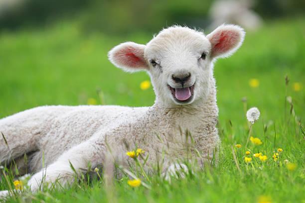 Lamb in field with buttercups:スマホ壁紙(壁紙.com)