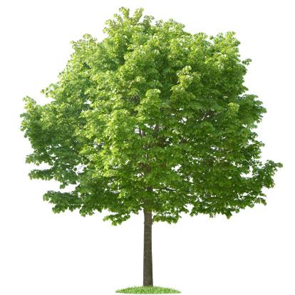 落葉樹「白い背景の上の緑の木」:スマホ壁紙(19)