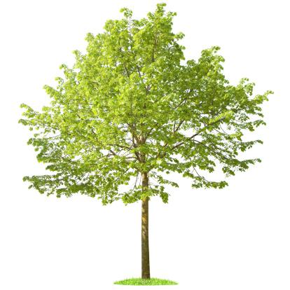 落葉樹「白い背景の上の緑の木」:スマホ壁紙(9)
