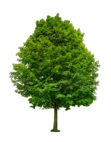 Deciduous Tree「Green tree」:スマホ壁紙(12)