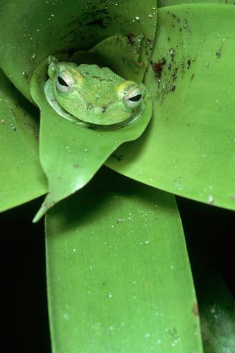 Montane Rainforest「Green Tree Frog in Green Leaves」:スマホ壁紙(17)