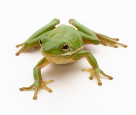 Frog「Green Tree Frog」:スマホ壁紙(19)