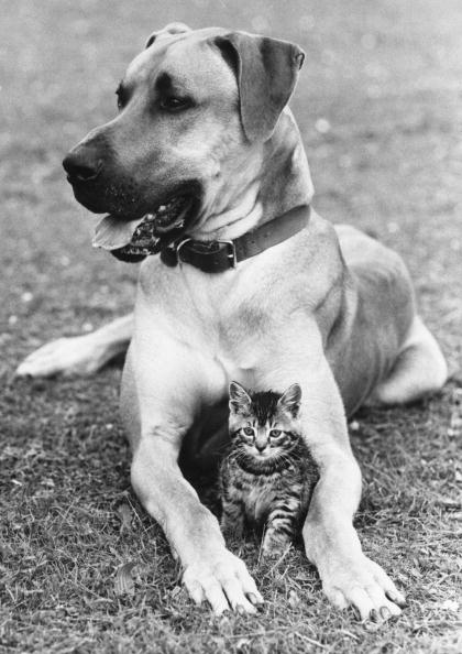 猫「Great Dane And Kitten」:写真・画像(11)[壁紙.com]