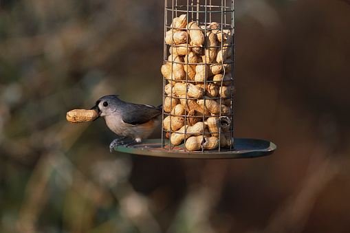 1980-1989「Tufted Titmouse at Peanut Bird Feeder」:スマホ壁紙(11)