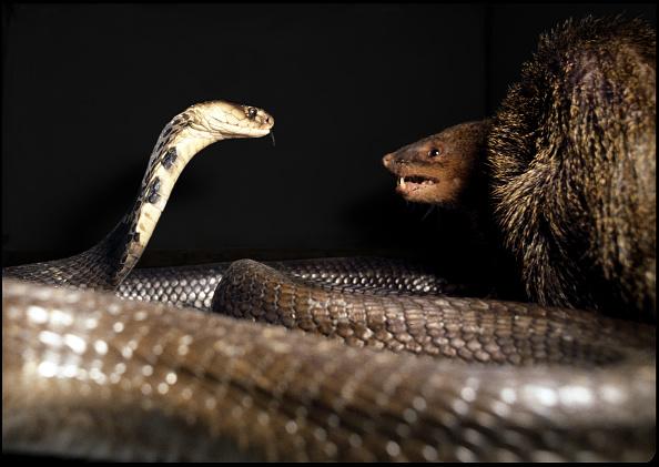 Snake「Mongoose Fights Cobra」:写真・画像(18)[壁紙.com]