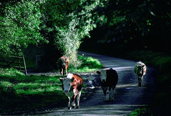 Quadrupedalism「Cows in Country Lane, Cornwall, England」:写真・画像(8)[壁紙.com]