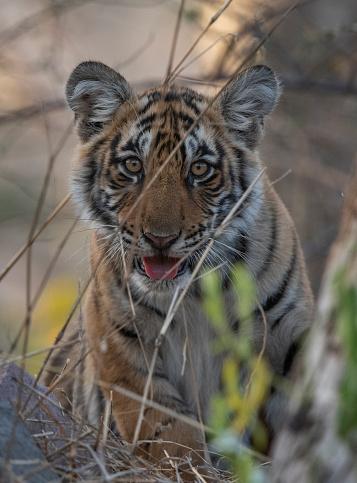 Rajasthan「Tiger, Ranthambore National Park, India」:スマホ壁紙(9)
