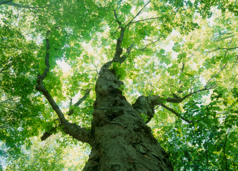 里山「Big Tree, Towada, Aomori, Japan」:スマホ壁紙(15)