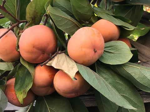 Fuyu「Ripe Fuyu persimmons (Diospyros) on persimmon tree」:スマホ壁紙(5)
