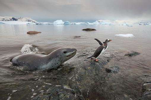 Gentoo Penguin「Leopard Seal Hunting Gentoo Penguins, Antarctica」:スマホ壁紙(12)