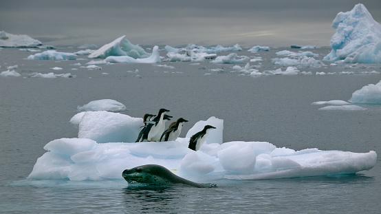 Gentoo Penguin「Leopard seal moving in for kill」:スマホ壁紙(19)