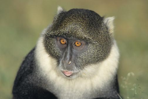 Animal Themes「Blue monkey (Cercopithecus mitis), headshot, (Close-up)」:スマホ壁紙(2)