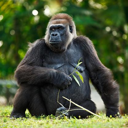 Gorilla「female lowland silver-back gorilla」:スマホ壁紙(11)